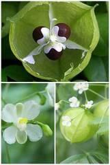 花の種 ふうせんかずらのたね 250粒 ハート 日よけ グリーンカーテン インテリア