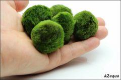 マリモ 毬藻 水草 Mサイズ( 5個 )