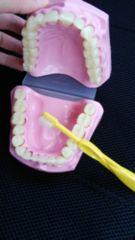 美品♪子供と一緒に♪ブラッシング指導用歯模型♪