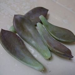 台湾産 食用サボテン 石蓮花 五葉 送料無料