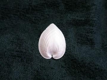 貝の標本(現生)ハートガイの貝殻 34mm
