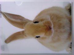 未使用 クリアファイル どアップ!うさぎ/ウサギ/兎 ¥120