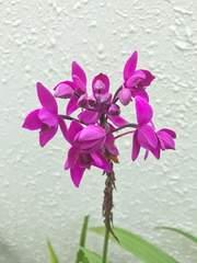 洋蘭原種 Spathoglottis.sp コウトウシラン